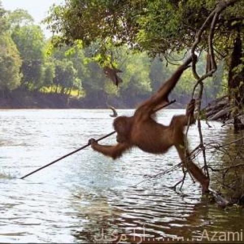 أورانغان من الرئيسيات يصطاد السمك بجربة من صنعه