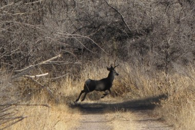 A mule deer in the eastern Mimbres area, southwest New Mexico.  (Photo by Steve Northup)