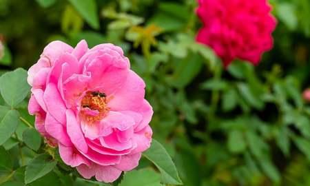 Դամասկոսյան վարդը՝ ՅՈՒՆԵՍԿՕ-ի ոչ նյութական ժառանգության ցանկում