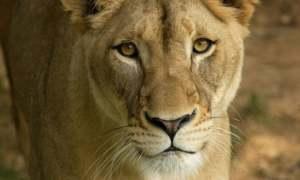 shera lion aryuc
