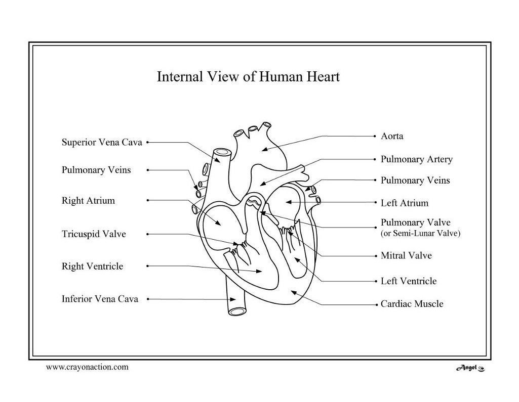 Heart Anatomy Printable Coloring Pages Sketch Coloring Page