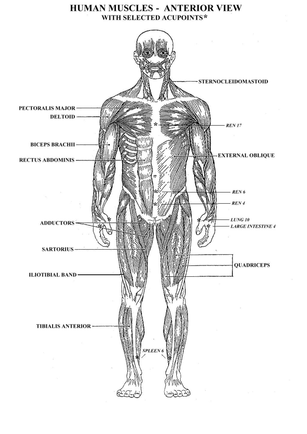 The Muscular System Coloring Pages