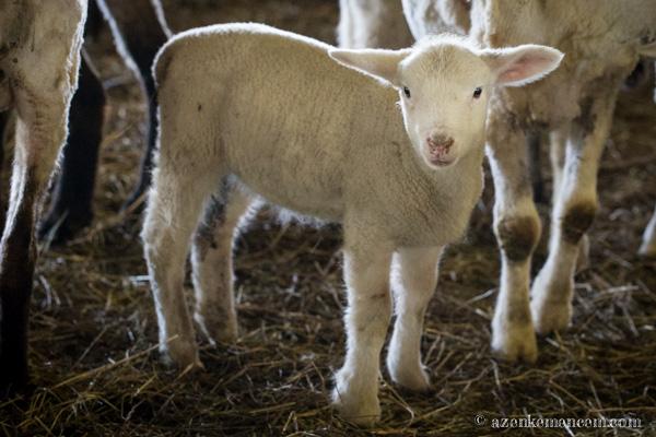 Keleméri bárányok - 60 napig anyatejen