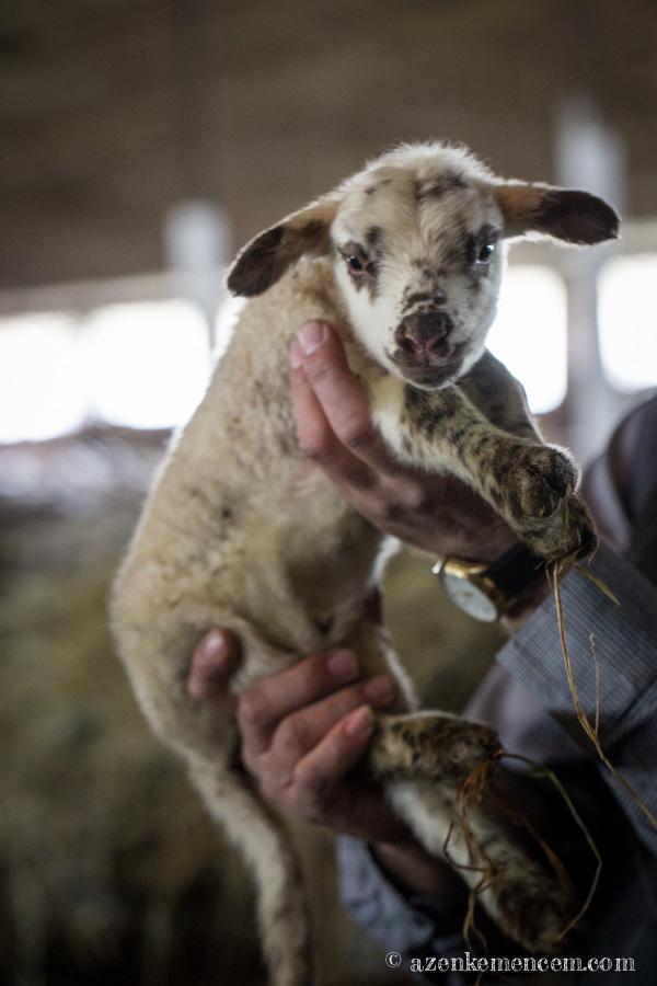 2 napos bárány