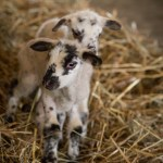 2 napos bárányok - keleméri Széki puszta tanya