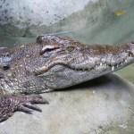 krokodyl-bangkok-tajlandia