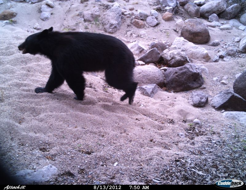 Black Bear 06 8 12