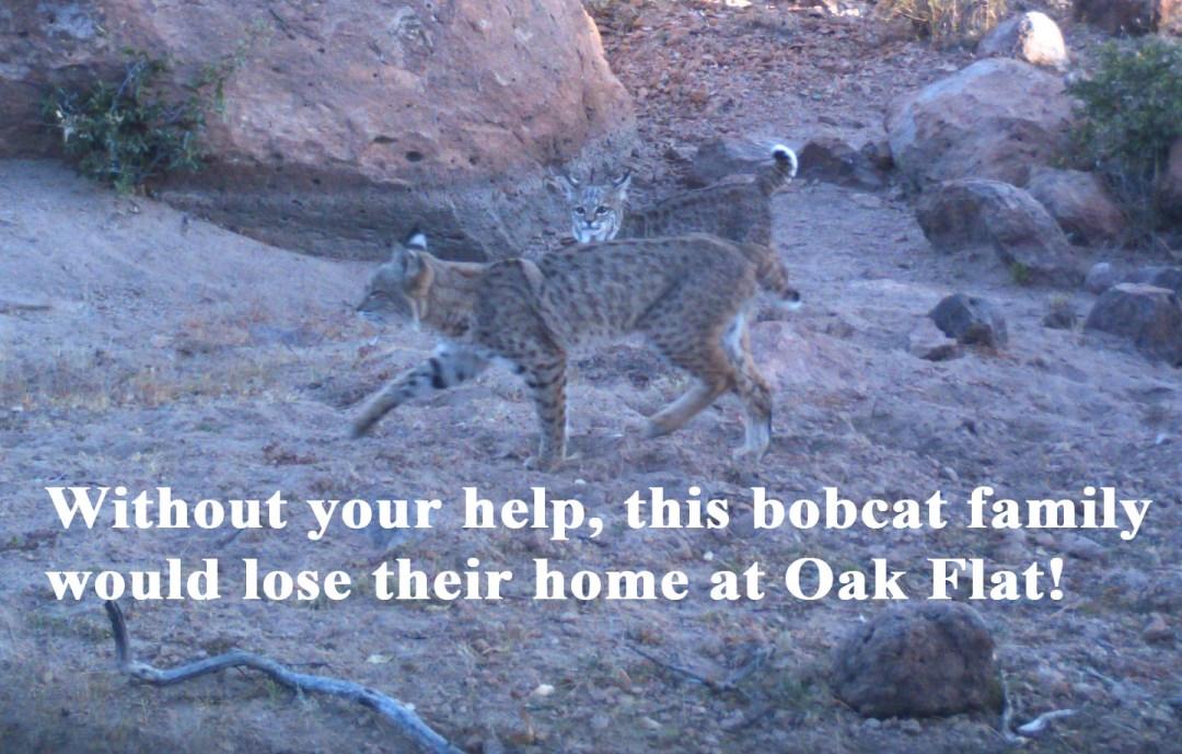 Bobcat plea