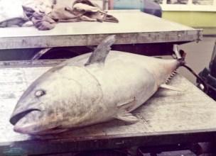 Tuna fish. Image ref: STE_1_043E