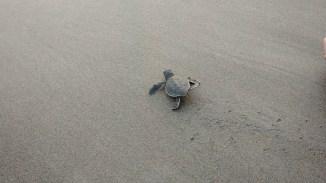 Turtle Release Liberación Tortuga