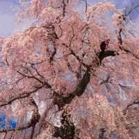 本村,枝垂れ桜,しだれ桜,春,豊科,インスタ,instagram,インスタグラム