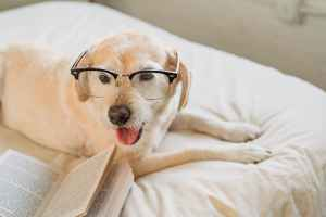 cute labrador retriever in eyeglasses lying on bed with book