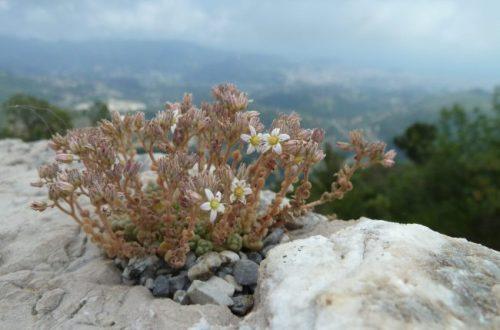 © Azurka. Юг Франции. Цветы на горе Мон-Шов