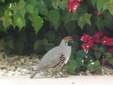 quail4