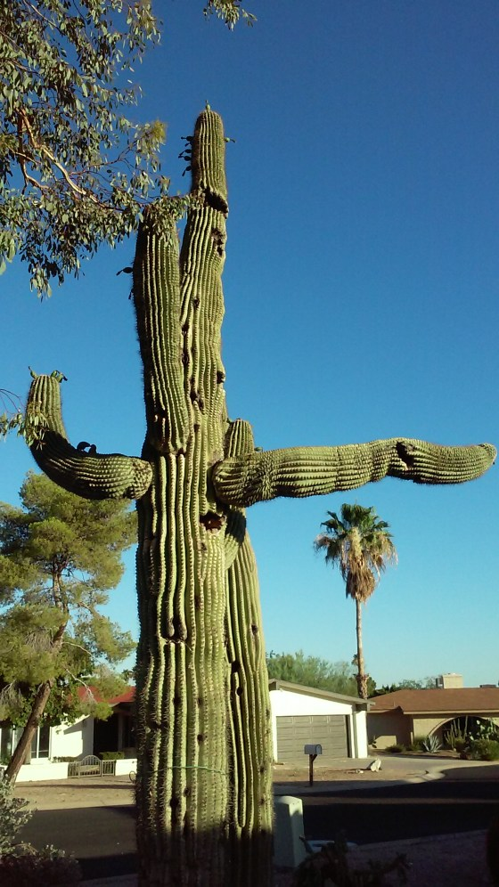 Saguaro cactus with arms that resemble traffic cop pointing