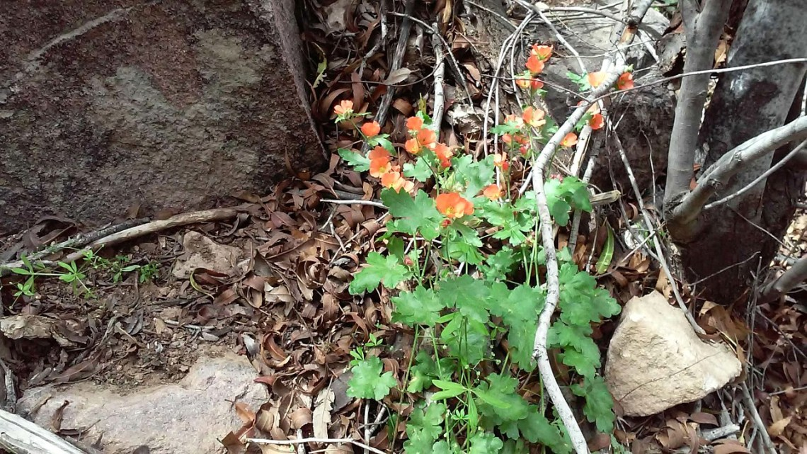 Superstition-flowers-12