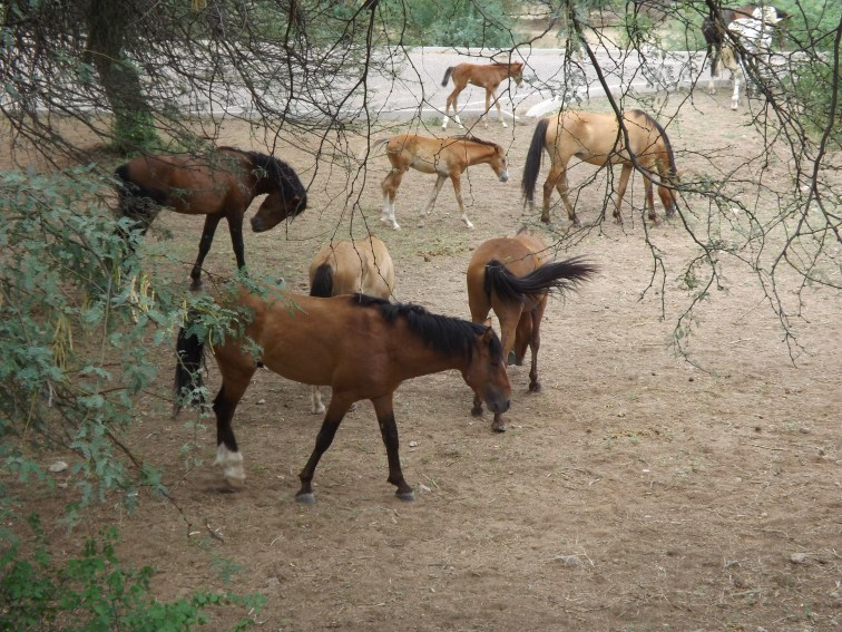 Wild horses at Saguaro Lake Arizona