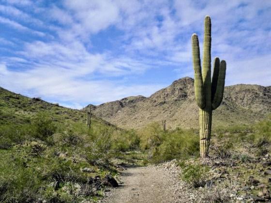 Saguaro cactus in natural desert habitat