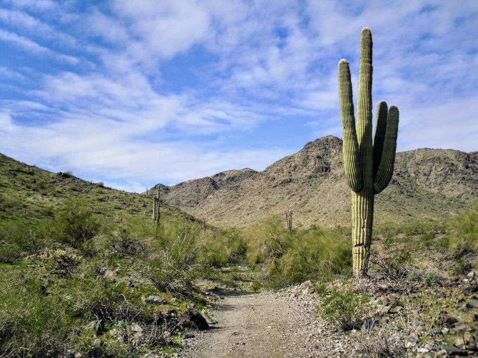 How to tell the difference between Saguaro and Arizona barrel cactus