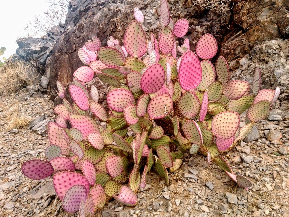 prickly pear cactus with natural hues of green and pink