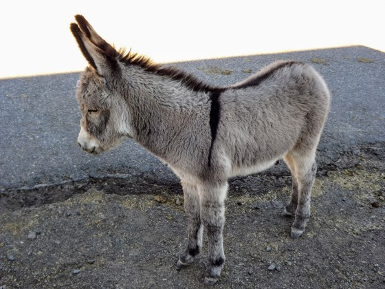 Adorable young donkey posing for photos in Oatman, AZ