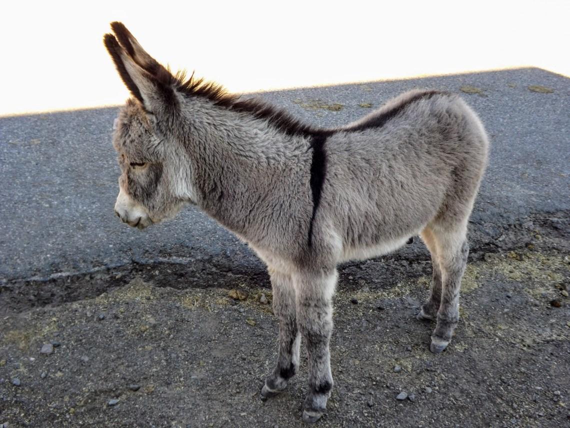 Adorable young donkey posing for photos in Oatman, AZ