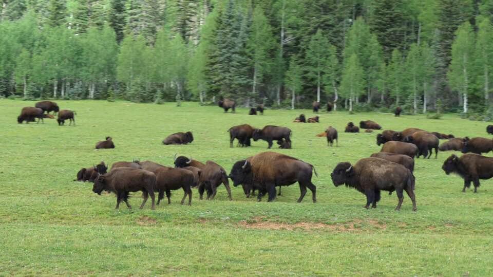 Buffalo roam the high plains north of the Grand Canyon.