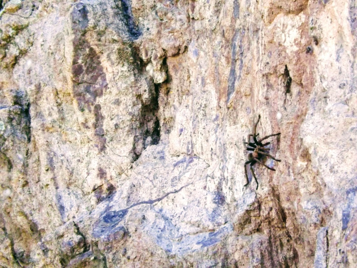 Tarantula climbing up canyon wall