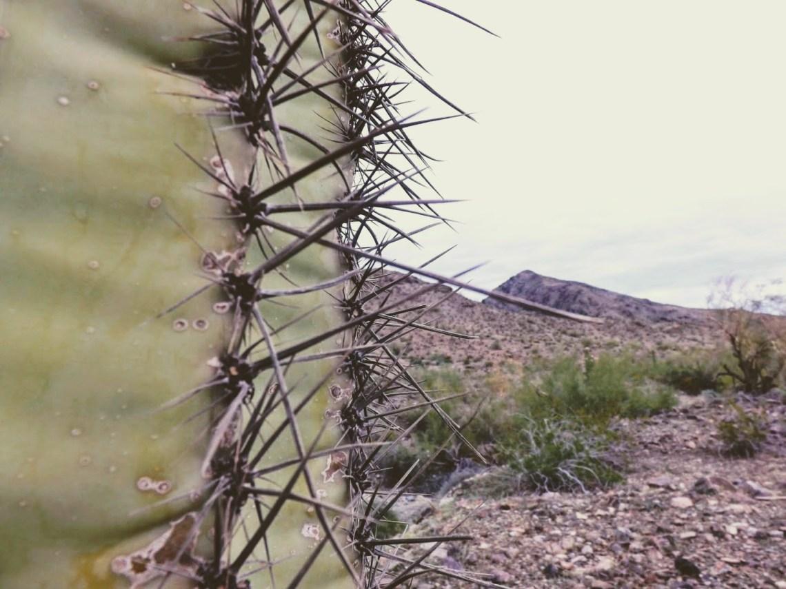 Close up of saguaro cactus spine