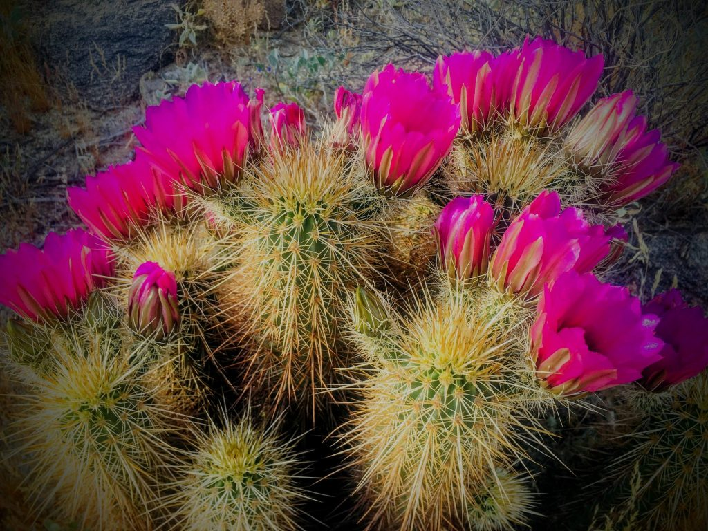 Hedgehog cactus in bloom profile view