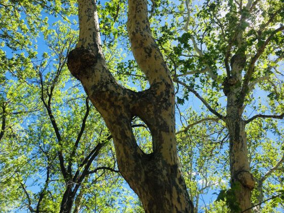 Arizona Sycamore tree with unusual hole in its trunk