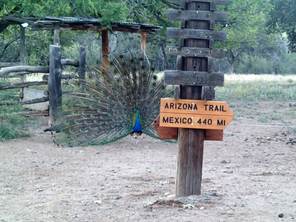 Peacock with Arizona Trail sign