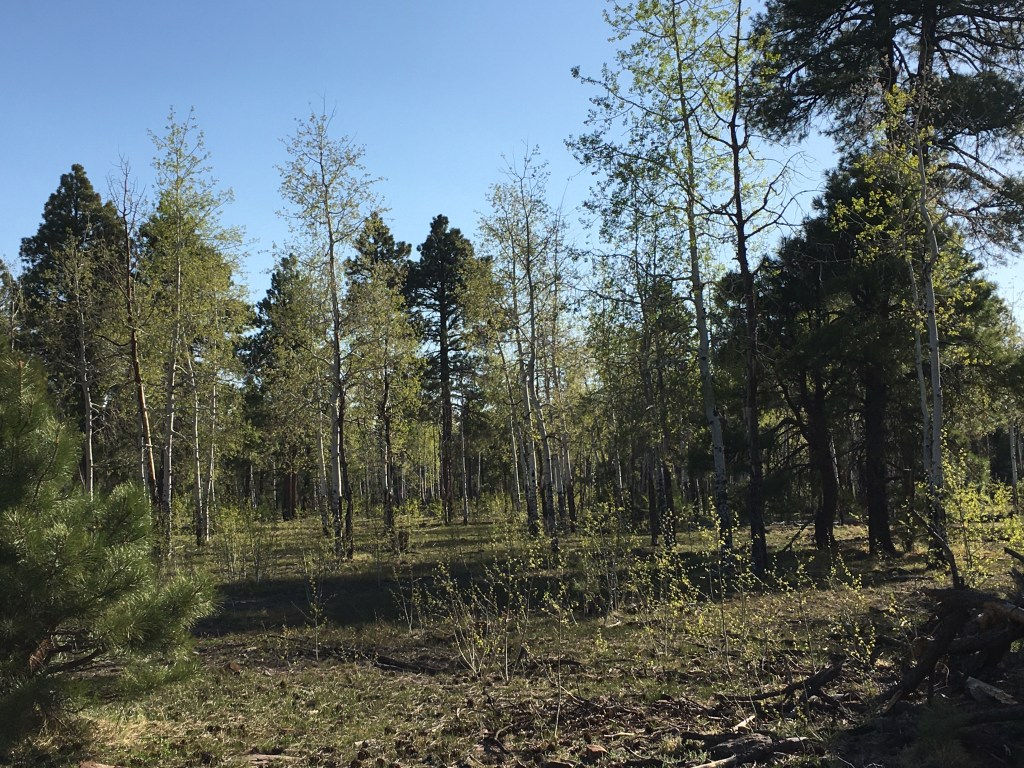 Small aspen tree grove surrounded by pine trees