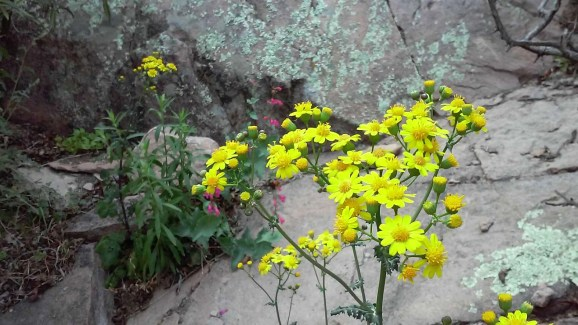 Superstition-flowers-7