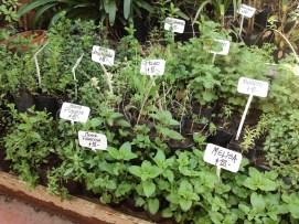 Plantines de aromáticas en el vivero. Foto