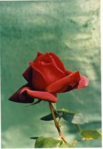 A red rose for my Valentine. Taken by Reginald J. Dunkley