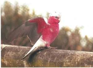 Pink and grey Gallah flew in. Taken by Reginald J. Dunkley