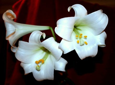 Eaaster Lily from the garden. Taken by Reginald J. Dunkley
