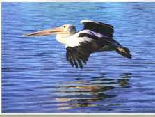 Pelican at The Entrance flying in for afternoon tea taken by Reginald J. Dunkley