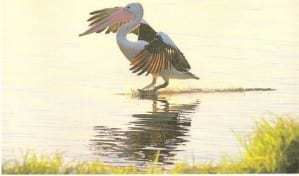 Pelican skidding on water at The Entrance taken by Reginald J. Dunkley