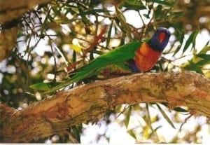Lorikeet in the garden. Taken by Reginald J. Dunkley