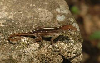 Cuban-lizard-2
