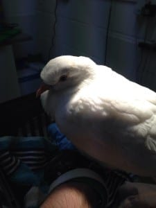 White Pigeon from Buxted