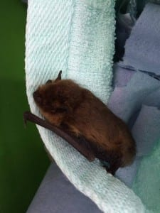 Pipistrelle Bat found in Eastbourne