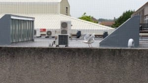 Gull trapped under netting at Eastbourne Hospital