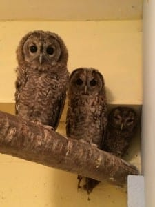 Our three young tawny owls together in our indoor pen