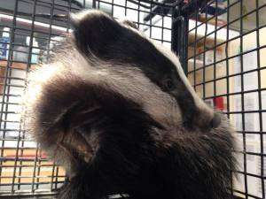 Badger from Cooden