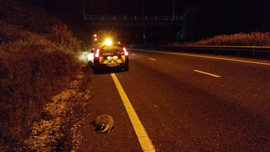 RTA badger on the A27 near Brighton