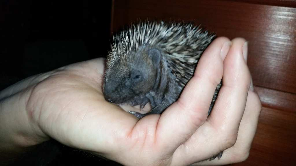One of Kathys baby hedgehogs