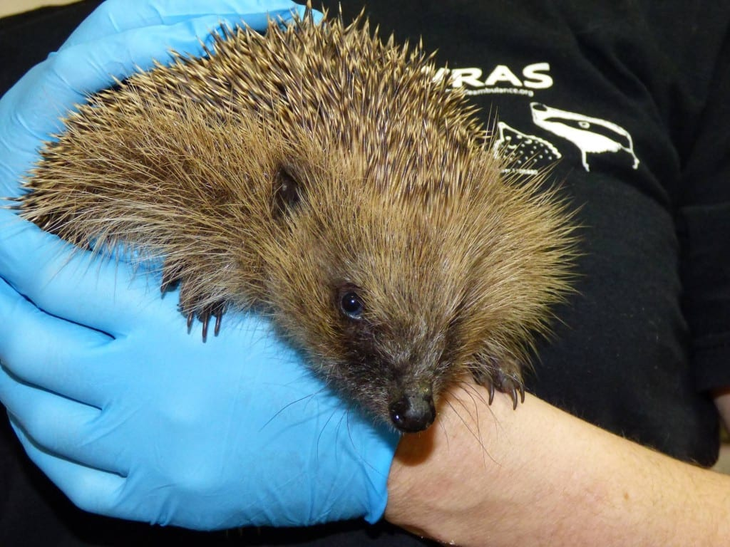 A Hedgehog Rescued by WRAS